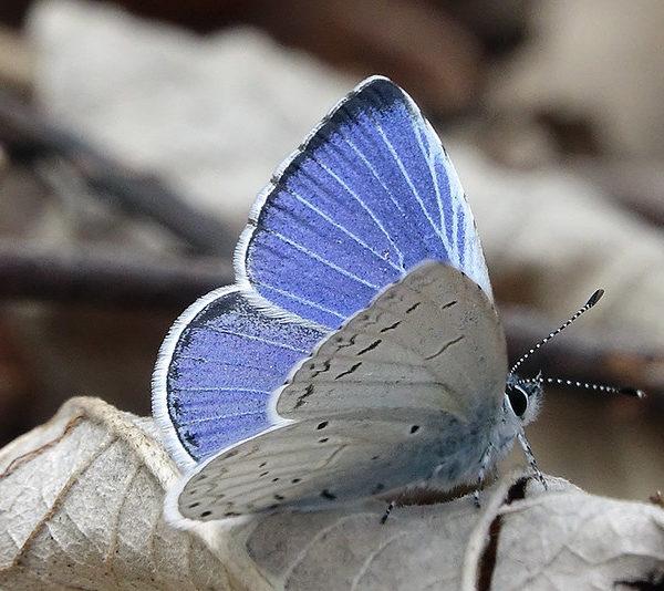 Как зовут национальную бабочку Финляндии, или Куда улетают финские бабочки зимой
