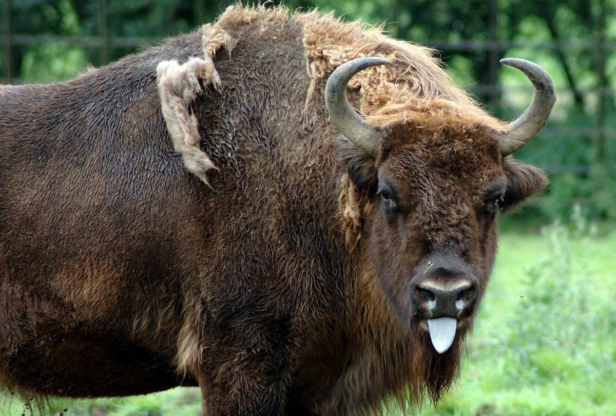 You are currently viewing В зоопарке Коркеасаари событие: в стаде зубров родился малыш