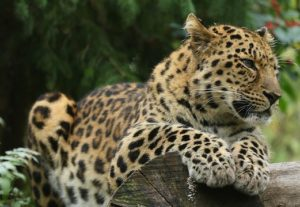 Read more about the article «Ночь кошек» в зоопарке Коркеасаари будет организована в течение четырех вечеров