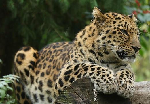 You are currently viewing «Ночь кошек» в зоопарке Коркеасаари будет организована в течение четырех вечеров
