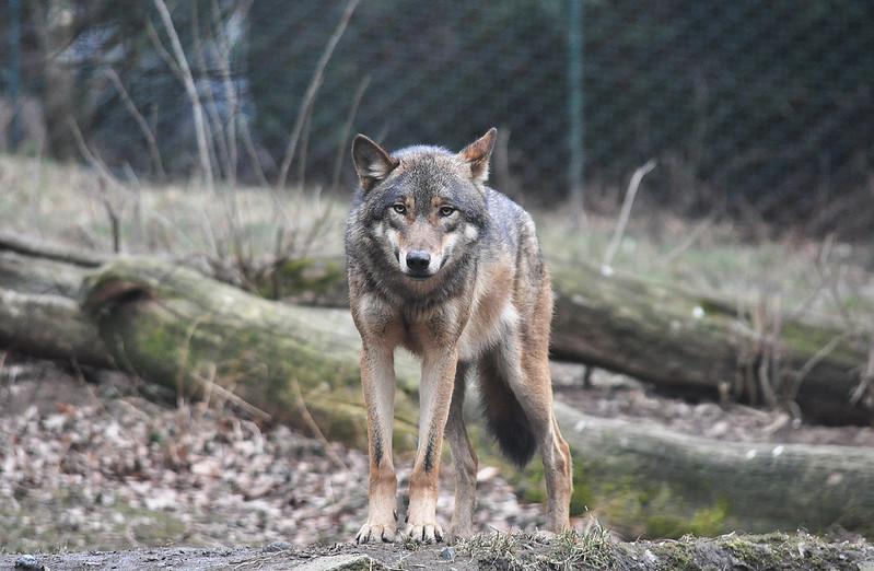 Read more about the article Волк попытался расправиться с щенком на глазах у хозяина собаки